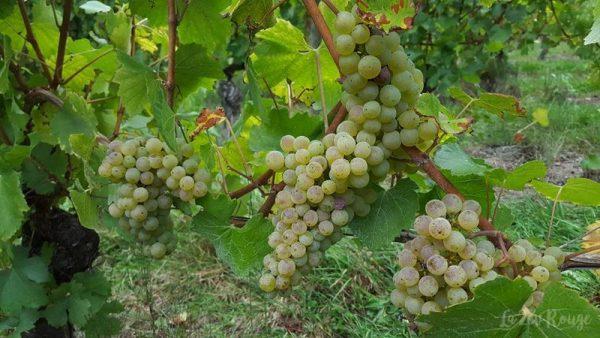 Les Vignes de Féchy